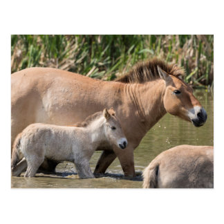 Takhi Horse and Foal Cross a River Postcard