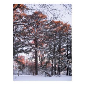 Tall Pine Trees in Snow at Sunrise Winter Photo Postcard