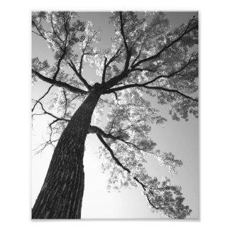 Tallest Tree Photo Print