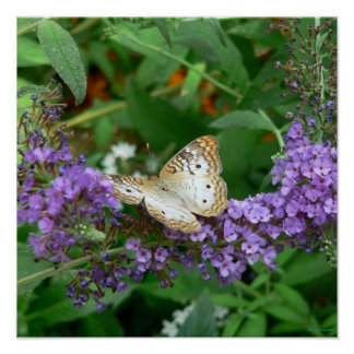 Tan and White Butterfly Poster