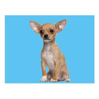 Tan and White Chihuahua Postcard
