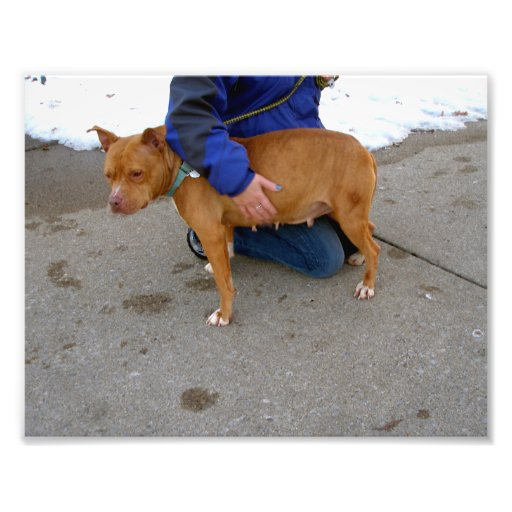 Tan Female Pit Bull Standing Outside Photograph