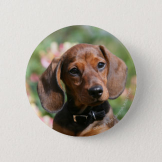 Tan Miniture Dachshund 6 Cm Round Badge