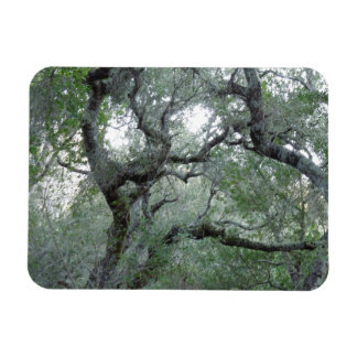 Tangled Oak Trees in Paso Robles California Magnet