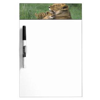 Tanzania, Ngorongoro Crater. African lion mother Dry Erase Board