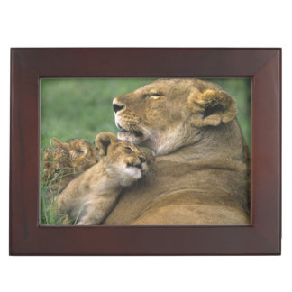 Tanzania, Ngorongoro Crater. African lion mother Keepsake Box