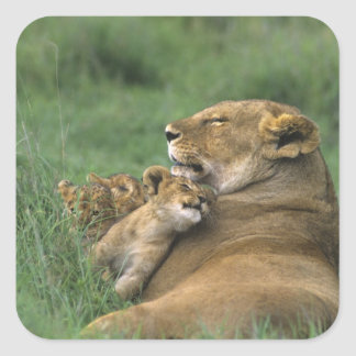 Tanzania, Ngorongoro Crater. African lion mother Square Sticker