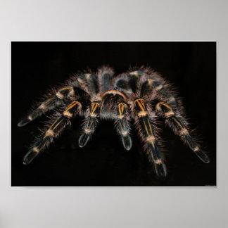 Tarantula Big Spider Hairy Arachnoid Poster
