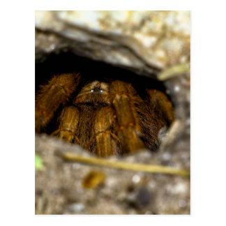Tarantula Hide-Away Postcard