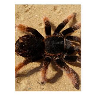 Tarantula Photo Postcard