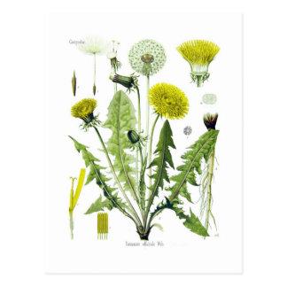 Taraxacum officinale (Dandelion) Postcard