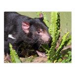 Tasmanian Devil, Australia Post Cards