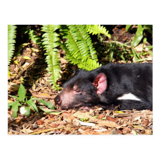 Tasmanian Devil Basking in the Sunlight Postcard