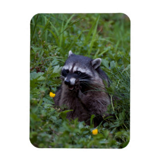 Tattle Tale Raccoon Magnet