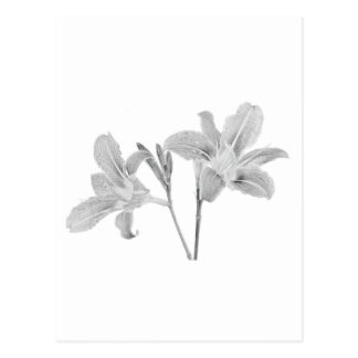 Tawny Day Lilly Digital Drawing Postcard