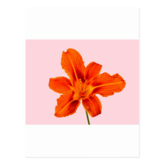 Tawny Day Lilly Postcard