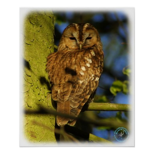 Tawny Owl 8T014D-17 Posters