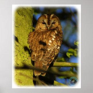 Tawny Owl 8T014D-17 Posters
