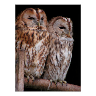 Tawny Owls Print