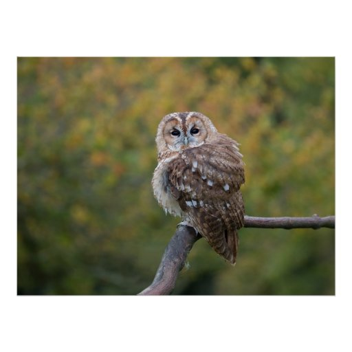 Tawny Poster