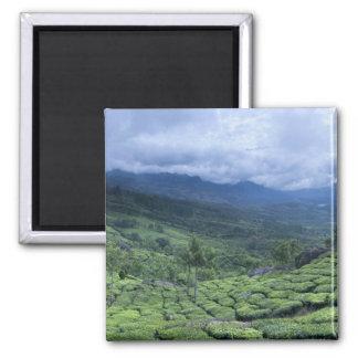 Tea plantation 2 Kerala state India Magnet