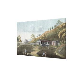 Tea planting (w/c on paper) canvas print