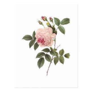 tea rose(Rosa indica) by Redouté Postcard