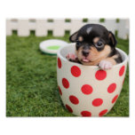Teacup Chihuahua Puppy Poster