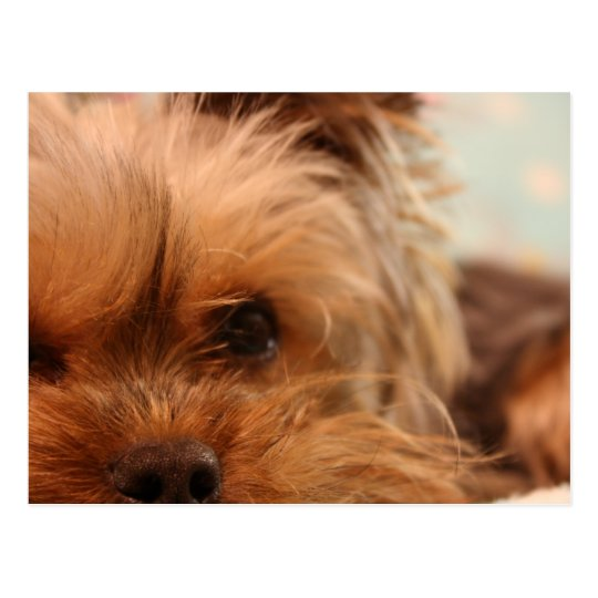 teacup yorkie puppy postcard