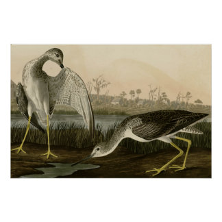 Tell-tale Godwit Posters