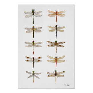 Ten Dragonfly Species Poster