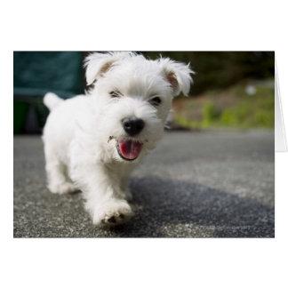Ten week old female west highland terrier greeting card