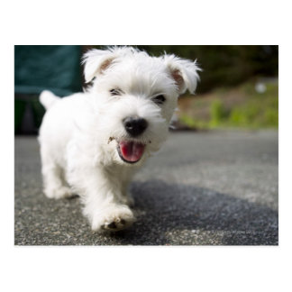 Ten week old female west highland terrier postcard