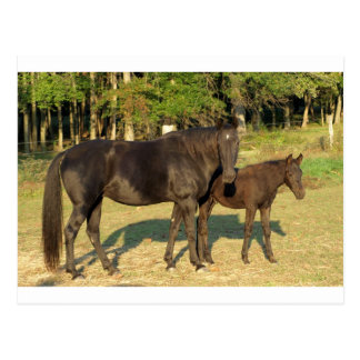 Tennessee Walking Horse Mare and Foal Post Card