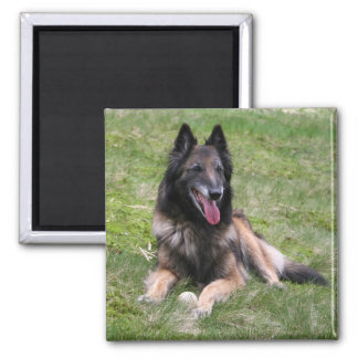 Tervuren Belgian Sheepdog, dog photo fridge magnet