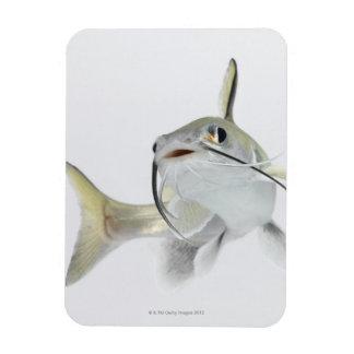 Tete sea catfish (Hexanematichthys seemanni) 2 Magnets