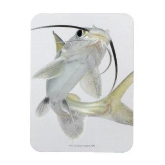Tete sea catfish (Hexanematichthys seemanni) Rectangular Photo Magnet