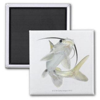 Tete sea catfish (Hexanematichthys seemanni) Square Magnet