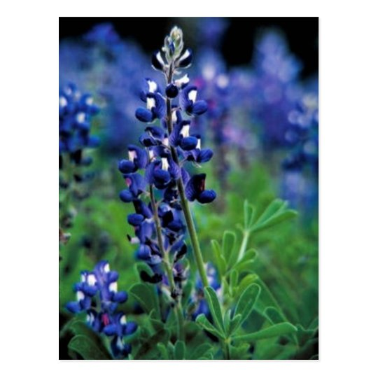 Texas Bluebonnet Postcard