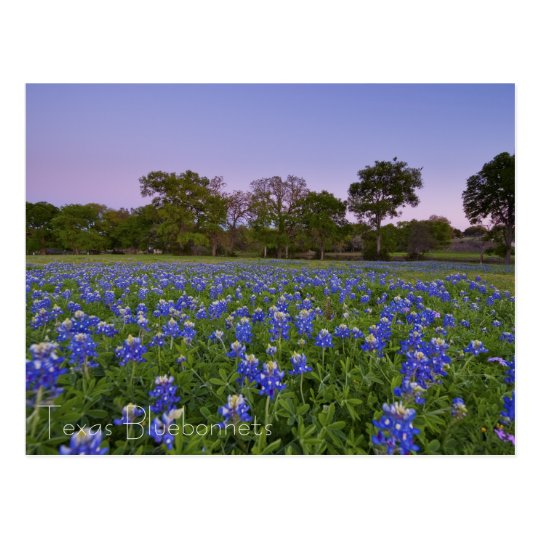 Texas Bluebonnets in Bloom postcard