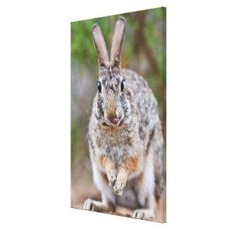 Texas cottontail rabbit canvas print