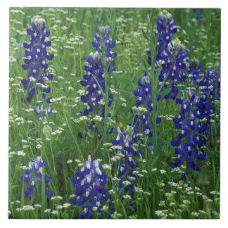 Texas, Lake Buchanan. Texas Bluebonnet and Wild Tile