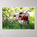 Texas Longhorn Steer Posters