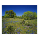 Texas, Texas Hill Country, Low bladderpod, Posters