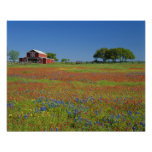 Texas, Texas Hill Country, Texas paintbrush Poster
