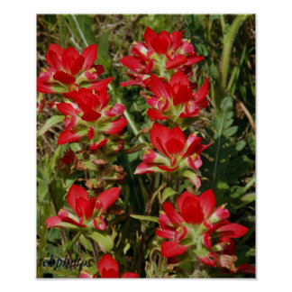 Texas Wildflower Poster