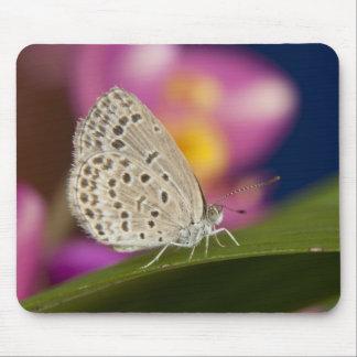 Thailand, Khon Kaen, The pale grass blue Mouse Pad