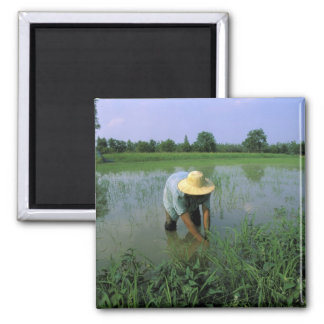 Thailand, Sukhothai. Rice farmer. MR. Square Magnet