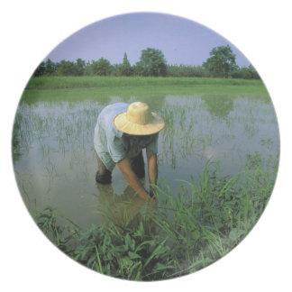 Thailand, Sukhothai. Rice farmer. MR. Plate