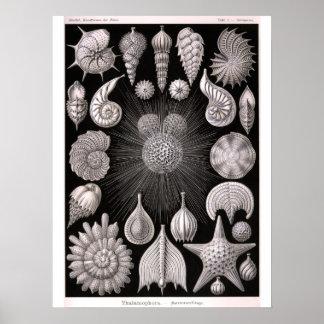 THALAMOPHORA Kammerlinge Protozoa Poster